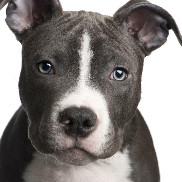 American Pitbull Terrier, una raza incomprendida.